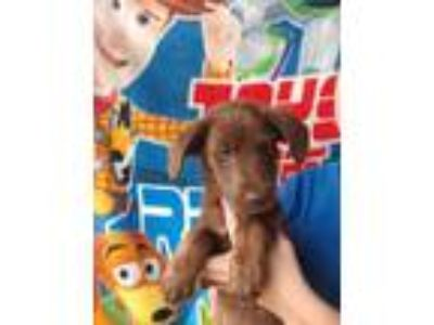 Adopt Candy a Chocolate Labrador Retriever