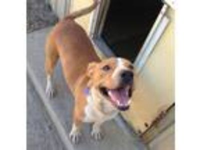 Adopt Sweet Peanut-FOSTER/HOME a Tan/Yellow/Fawn - with White Australian Cattle