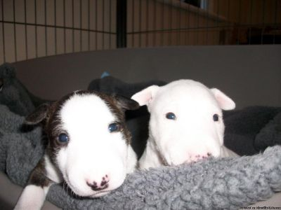 Stunning Bull Terrier Puppies