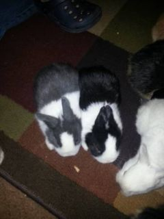 Rabbits for sale. 4 and 6 weeks old (Robinson)
