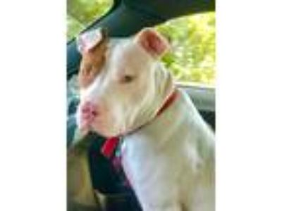 Adopt Tex a White - with Tan, Yellow or Fawn Pit Bull Terrier / Mixed dog in