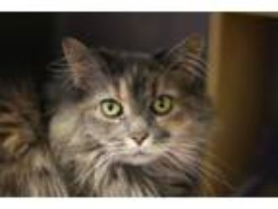 Adopt Misty (kitty) a Domestic Long Hair