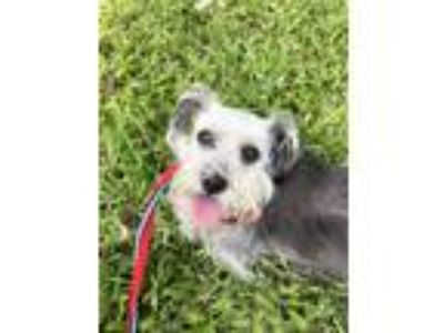 Adopt Coco a Schnauzer (Standard) / Mixed dog in New Orleans, LA (25572647)