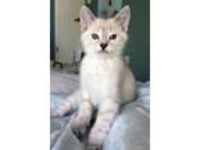 Adopt Nala a White (Mostly) Domestic Shorthair cat in Denver, CO (25369946)