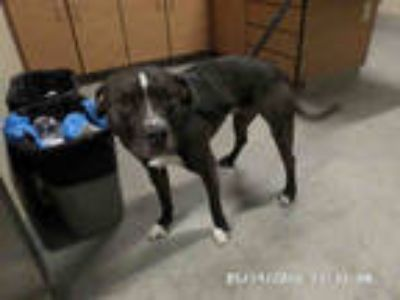 Adopt MILO a Black - with White American Staffordshire Terrier / Mixed dog in