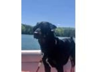 Adopt Luke a Black - with Tan, Yellow or Fawn Australian Shepherd / Labrador