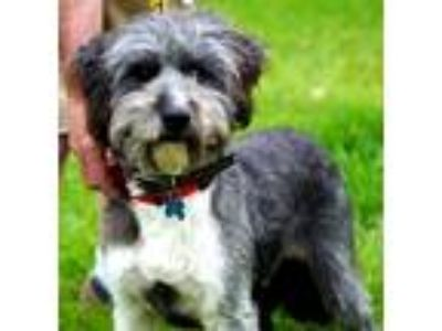 Adopt JOEY a Black - with White Terrier (Unknown Type, Medium) / Mixed dog in