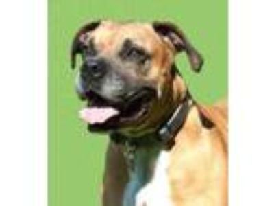 Adopt Duke *Graduate* a Brown/Chocolate Boxer / Basset Hound / Mixed dog in