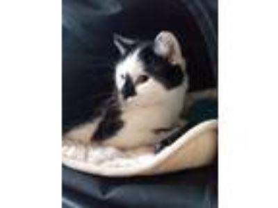 Adopt Lovey Dovey a Domestic Short Hair, Tuxedo