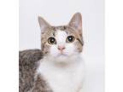 Adopt Kate a Domestic Shorthair cat in Jefferson City, MO (25303625)