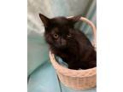 Adopt Maverick a All Black Domestic Longhair / Domestic Shorthair / Mixed cat in