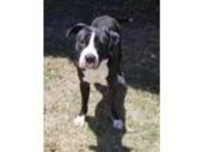 Adopt Boomer a Black American Pit Bull Terrier / Mixed dog in Cedar Hill