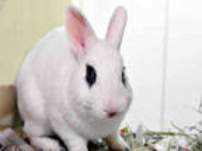 Adopt PIKACHU a White Other/Unknown / Mixed rabbit in Ft Lauderdale