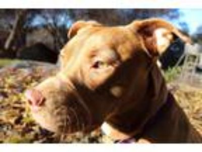 Adopt Nike a Red/Golden/Orange/Chestnut American Pit Bull Terrier / Mixed dog in