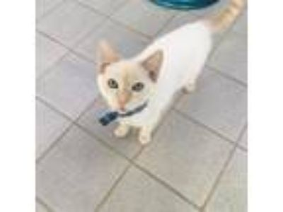 Adopt WILL a Brown or Chocolate (Mostly) Siamese / Mixed (short coat) cat in