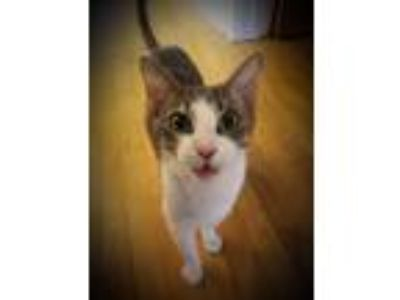 Adopt Paulina a Calico or Dilute Calico Calico (short coat) cat in Naperville