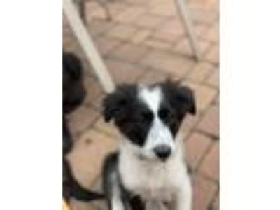 Adopt Emma a Border Collie, Great Pyrenees