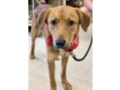 Adopt Rusty 2 a Red/Golden/Orange/Chestnut Labrador Retriever / Retriever