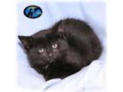 Adopt George a All Black Domestic Shorthair (short coat) cat in Howell