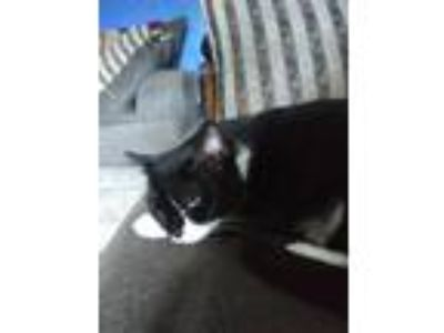 Adopt Oreo a Black & White or Tuxedo American Shorthair cat in Louisville