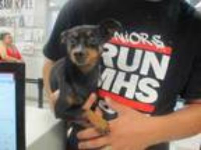 Adopt JIMMY a Miniature Pinscher, Mixed Breed