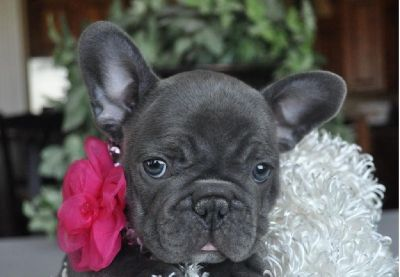 AKC-REG French Bulldog Puppies For Sale Text and sms us at; (724) 7O5 - 9730