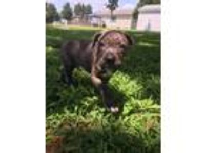 Adopt Earl a Brindle - with White Pit Bull Terrier / Mixed dog in Milton