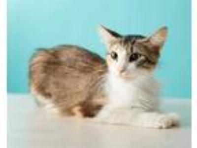 Adopt MARGE a Calico or Dilute Calico Domestic Mediumhair / Mixed (medium coat)
