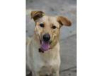 Adopt LuLu a Labrador Retriever, Golden Retriever