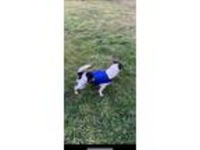 Adopt Sparky a Black - with White Rat Terrier / Mixed dog in Lexington