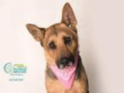 Adopt BAYLI a German Shepherd Dog