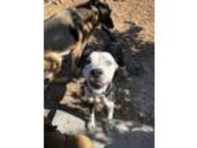 Adopt Dodger a Border Collie, American Staffordshire Terrier