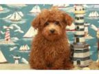 Red Male Teacup Poodle #4