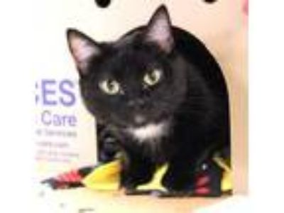 Adopt Girly a Domestic Short Hair