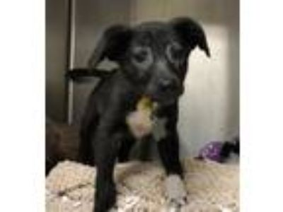 Adopt WIKI a Black - with White Beagle / Mixed dog in St. Louis, MO (25483994)