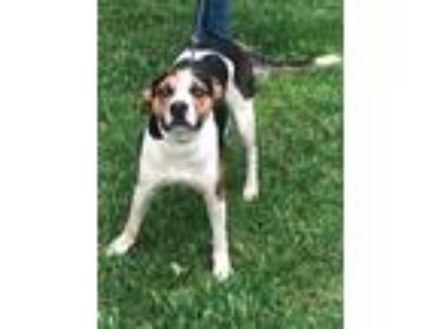 Adopt Willie Nelson a Tricolor (Tan/Brown & Black & White) Hound (Unknown Type)