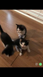 These kittens needs a forever home. They are 9 weeks old. They are eating and litter box trained. Have not been out side. 2 boys 2 girls