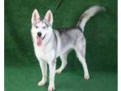 Adopt a White - with Gray or Silver Husky / Mixed dog in Hanford, CA (25848404)