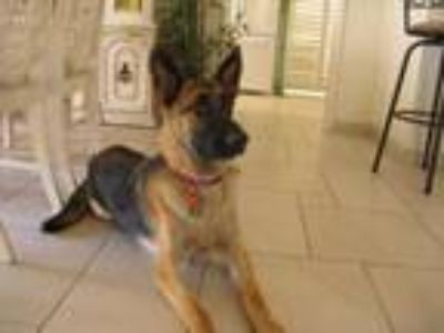 Adopt Shelby a Tan/Yellow/Fawn - with Black German Shepherd Dog dog in Palm