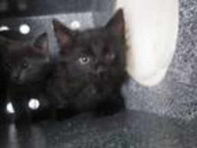 Adopt Tommy a All Black Domestic Shorthair cat in Weatherford, TX (25541527)