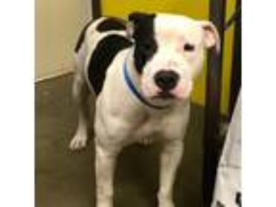 Adopt Mr. Pickles a Pit Bull Terrier