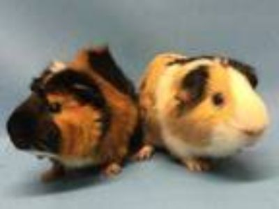Adopt Franklin a Black Guinea Pig / Mixed small animal in Golden Valley