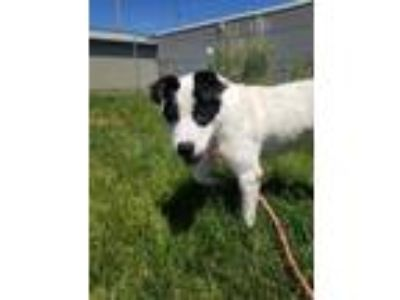 Adopt BAILEY a White Australian Cattle Dog / Labrador Retriever / Mixed dog in