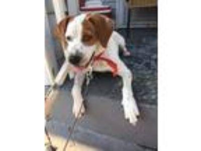 Adopt Frankie pankie a White - with Red, Golden, Orange or Chestnut Beagle dog