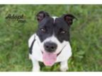 Adopt Madleen a American Staffordshire Terrier