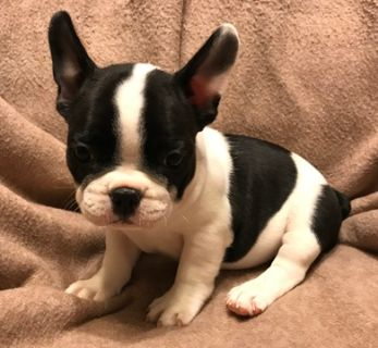French Bulldog PUPPY FOR SALE ADN-104400 - French Bulldog Puppy