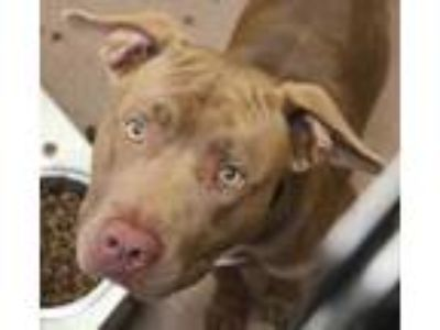 Adopt Aries a Brown/Chocolate American Pit Bull Terrier / Mixed dog in