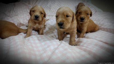 Golden Retriever Now Available