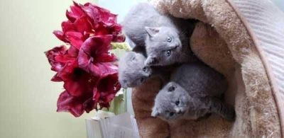 Gorgeous Scottish Fold/ Straight kitten, Excellent Pedigree & Awesome Personalities For Sale