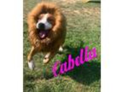 Adopt Cabella a Red/Golden/Orange/Chestnut Mixed Breed (Large) / Mixed dog in